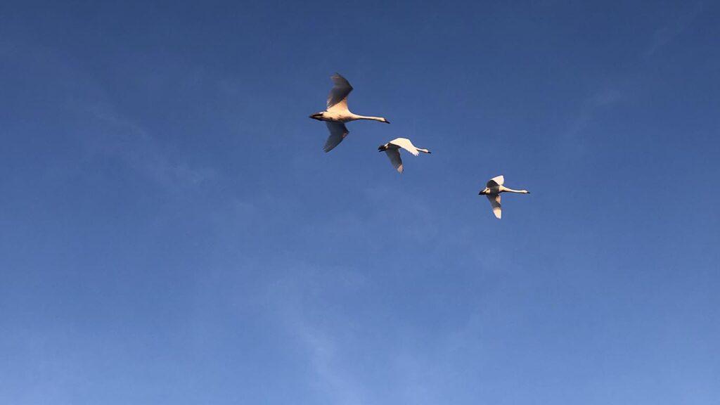 Flyvende svaner på en skyfri himmel i en bæredygtig verden